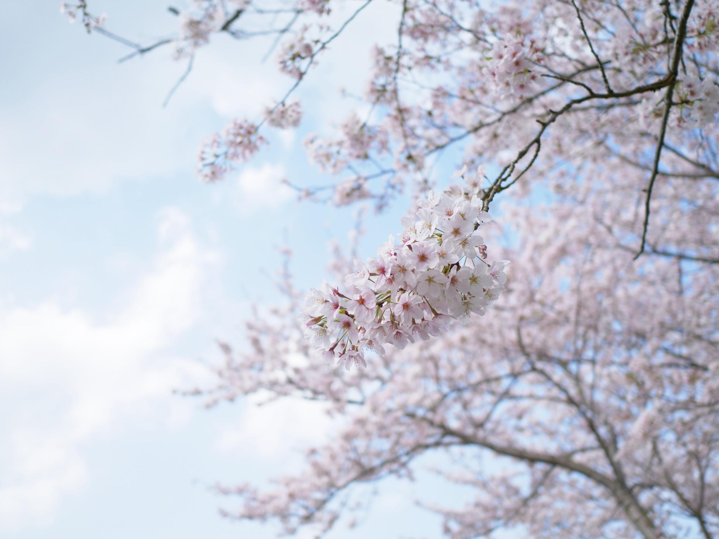 伊勢五十鈴川の桜